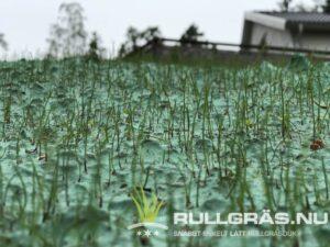 Efter några dagar slår gräset rot och börjar växa