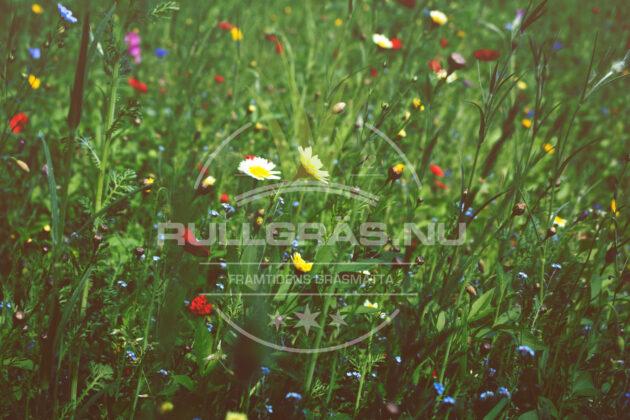 Blomsteräng sommaräng vildäng
