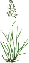 angsgroe engelskt rajgräs