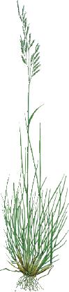 Rörsvingel Gräsfrö